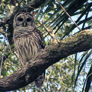 new year fresh start last hike of 2016 barred owl