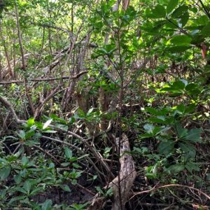 enchanting mangrove forest mutualistic relationship symbiosis
